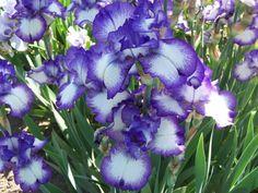 "littlepawz:  ""One of my favorites - irises. I am sooooo excited to see them already budding in my rock garden  """