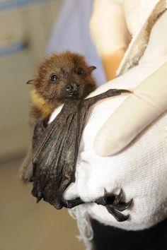 Sweet faced baby bat