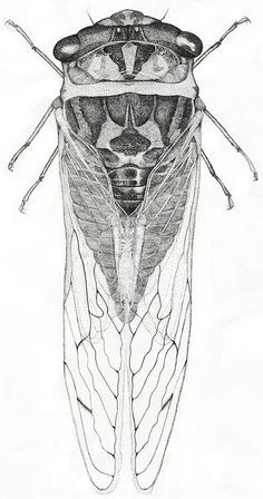 cicada scientific drawing - Google Search