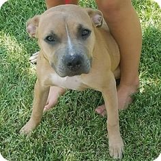 Sahara - URGENT - Long Way Home Animal Rescue in College Station, TX - ADOPT OR FOSTER - 7 MONTH OLD Spayed Female Pit Bull Terrier/Am. Staffordshire Terrier Mix PUPPY