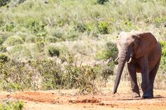 Bush Elephant with his long stretched out trunk Bush Elephant walking with his long stretched out trunk reaching to the ground.