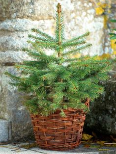 Great ideas for choosing a Christmas tree you can watch grow: http://blog.hgtvgardens.com/tis-the-season-plant-a-live-christmas-tree/