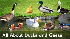 Pics Of Ducks And Geese Quack Honk Learn All About Ducks And Geese In This Educational Video Raising Ducks How To Raise Geese And Ducks Together In Your Anatidae Wikipedia Duck The Story About Ping, Types Of Ducks, Reading Motivation, Raising Ducks, Five In A Row, Free Stories, Animal Habitats, Book Study, Educational Videos