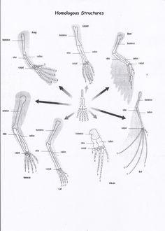 Strutture omologhe: strutture anatomiche di specie diverse che hanno un'origine evolutiva comune, osservando l'arto posteriore delle specie rappresentate si può notare la presenza degli stessi tipi di ossa.