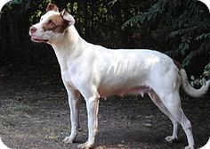 Peaches - URGENT - Calhoun County Humane Society, Inc. in Anniston, Alabama - ADOPT OR FOSTER - Adult Female Pointer/Pit Bull Terrier Mix - Being in a No Kill facility isn't enough!  This girl needs a home and a family to love.  Please share! ADOPTING FROM A RESCUE SAVES THE DOG ADOPTED AND MAKES ROOM FOR ANOTHER TO BE RESCUED!
