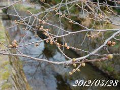京都 哲学の道 桜 2012/03/28