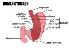 alimente arsuri la stomac - anatomia stomacului