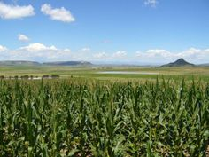 First African study on biodiversity in genetically modified maize finds insects abundant  For more details: http://www.agribazaar.co/index.php?page=item&id=2050