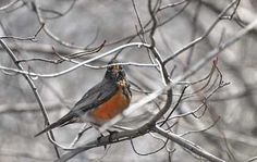"Signs of Spring: Robins arrive with this advice: ""Cheer up, cheer up, cheer up."""