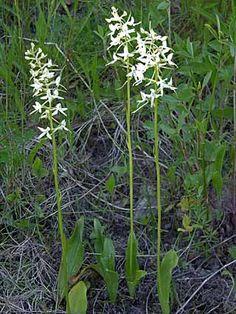 Valkolehdokki, Platanthera bifolia - Lempikukkani,joka kasvaa villinä- Tuoksu IHANA - Kukkakasvit - LuontoPortti