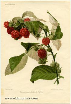 Framboise perpetuelle de Billiard.    RASPBERRIES)    Guillot, J. R. (del).  Paris. Revue Horticole. [ 1906].  Chromolithograph, sheet size 10 1/2 x 7 1/4 inches. Creamy white paper.