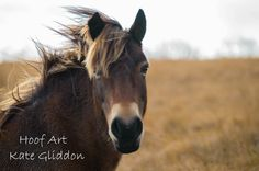 Exmoor Ponies from Withypool  Exmoor National Park