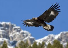 Stelvio National Park - Eagle  http://lombardiaparchi.proedi.it/parco-nazionale-dello-stelvio-2/?lang=en