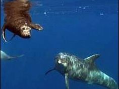 Altruistic Dolphins Help Seal Find Its Way Back To Sea. http://www.huffingtonpost.com/2013/02/02/dolphins-lead-seal-back-sea-video_n_2601968.html?ncid=edlinkusaolp00000003# @SeaShepherd #defendconserveprotect