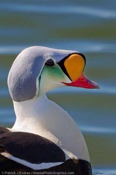 Eider.Kind of Duck