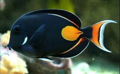 Saltwater Aquarium Fish - Find incredible deals on Saltwater Aquarium Fish and Saltwater Aquarium Fish accessories. Let us show you how to save money on Saltwater Aquarium Fish NOW! Saltwater Aquarium Fish, Saltwater Tank, Fish Aquariums, Marine Aquarium, Marine Fish, Fish Tank Supplies, Tang Fish, Beautiful Sea Creatures, Salt Water Fish