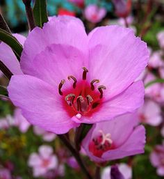 """Clarkia rubicunda blasdalei """"Ruby Chalice Clarkia"""" You want showy with no work? Long blooming, drought and deer tolerant and clay friendly? Then don't pass over our California native Clarkias because they're """"just annuals."""""""