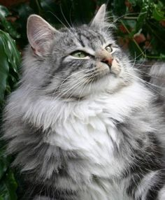 Representatives of the Norwegian Forest Cat breed are the descendants of wild forest animals in Norway.