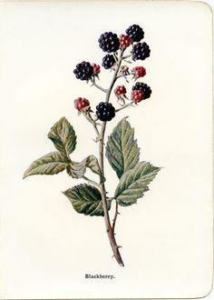 blackberry vintage botanical illustration free clip art