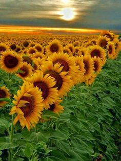 Sunflowers in Botswana