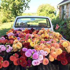 "25 mil Me gusta, 468 comentarios - Erin Benzakein - Floret (@floretflower) en Instagram: ""Tons, and tons, and tons of dahlias heading out to Seattle area @wholefoods stores in the morning.…"""