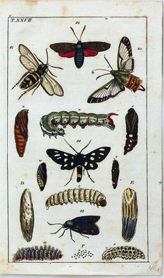 ANTIQUE PRINT ALBERTUS SEBA: CABINET OF NATURAL CURIOSITIES: INSECTS - MOTHS PLATE T.XXVII via Grandpa's Market. Click on the image to see more!