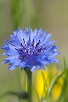 #flowers #blue....we always had these flowers when we were growing up..lol