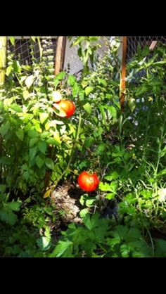 These tomatoes are really starting to grow nicely!