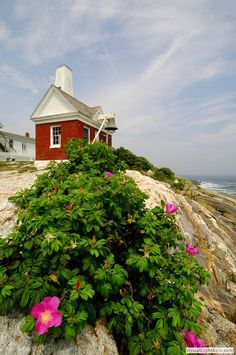 Rugosa Wild Roses along shore in Pemaquid Maine,  Larry Sizemore