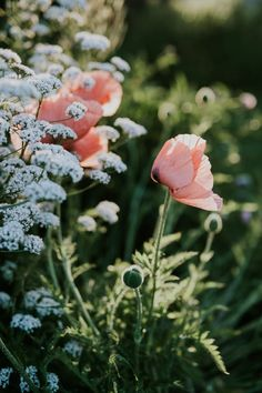 Poppies at sunrise - the cottage garden at Sigridsminde - Danish hygge and country living