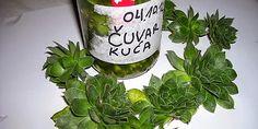 Čuvarkuća liječi ciste u organizmu! ~ Recepti i Ideje