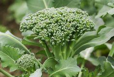 Broccoli - #2 on the list of zero calorie foods