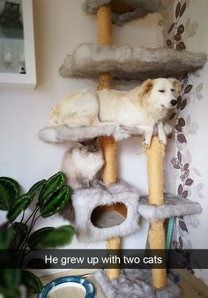 Sometimes dogs want to behave like their cat siblings. Funniest way to take a nap Mr. puppy. The cat tribe accepts this dog as one of them.  Do your pups also behave like their siblings? Funny Dog Memes, Funny Animal Memes, Funny Animal Pictures, Cute Funny Animals, Cute Baby Animals, Funny Dogs, Memes Humor, Funny Fails, Dog Pictures