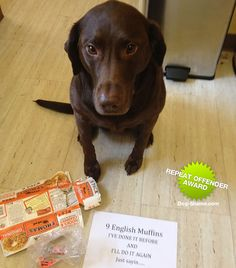My dog-in-law (sister of our chocolate lab).  Look at how cute.... How could anyone shame her like that....?