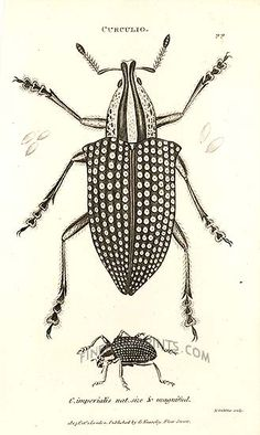 Antique print of Imperial Diamond Beetle by George Shaw