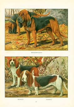This animal painting marked by Louis Agassiz #Fuertes is taken from The Book of Dogs published in 1919 by The National Geographic Society, Washington D.C., U.S.A.  Louis Aga... #fuertes #bloodhounds