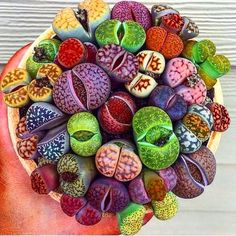 Organic Rainbow Mix 25 Lithops Seeds-Most of the colors we carry in a balanced mix of color. Very easy to grow, great for kids gardensOrganic Rainbow Mix Lithops Seeds Other Names Lithops aucampiae var Aucampiae Living Stones Stone Plant Pebble Plant Succulent Seeds, Succulent Gardening, Succulent Care, Cacti And Succulents, Planting Succulents, Cactus Plants, Planting Flowers, Organic Gardening, Gardening Tips
