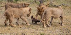 The young lions gather around the honey badger and swipe at it with their paws while it plots its escape