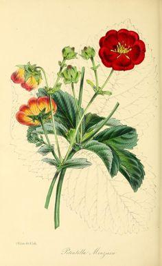 v.15 (1849) - Paxton's magazine of botany, - Biodiversity Heritage Library