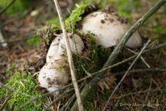 De belles amanites - Amanita excelsa var. excelsa soulevant branches et mousse lors de leur pousse.