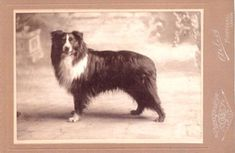 Welcome Old Fashioned Farm Collies :: Laura Lee, Breeder