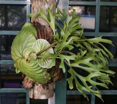 Staghorn Fern - Google Search
