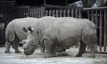 IVF is best chance to save endangered northern white rhino, scientists say | Environment | The Guardian