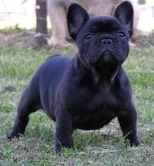 french bulldog - Google Search