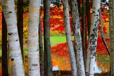 Peeking Thru the Birches by Pamela MacLean -  Click on the image to enlarge.
