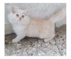 Persian cats vaccination