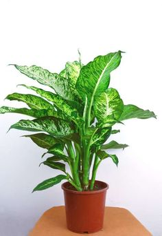 The Best Indoor Plants for Clean Air And Low Light Settings + 15 Planter Ideas - - The Best Indoor Houseplants for Low Light And Clean Air + 11 Genius Potting Ideas. Best Indoor Plants, Indoor Planters, Outdoor Plants, Indoor Garden, Hosta Plants, Houseplants, Shade Plants, Large Plants, Cool Plants