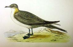 Bird Prints by Rev. Francis Orpen Morris
