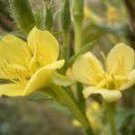 De bloem van de heilige Antonis : teunisbloem, waarvan alles eetbaar en smaakvol is UIT DE TUIN OF NATUUR