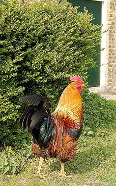 Rooster, via Flickr.